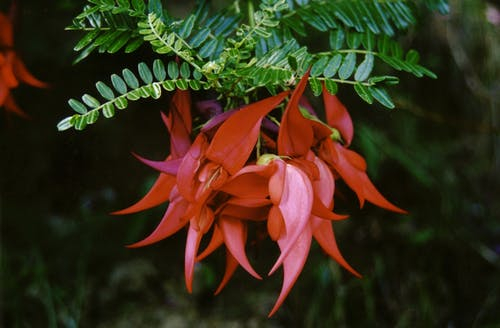 The curved red flowers of kakabeak