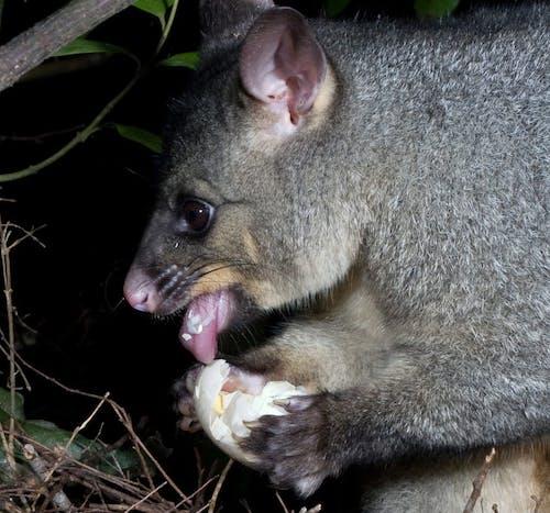 Possum feeding on a bird's egg