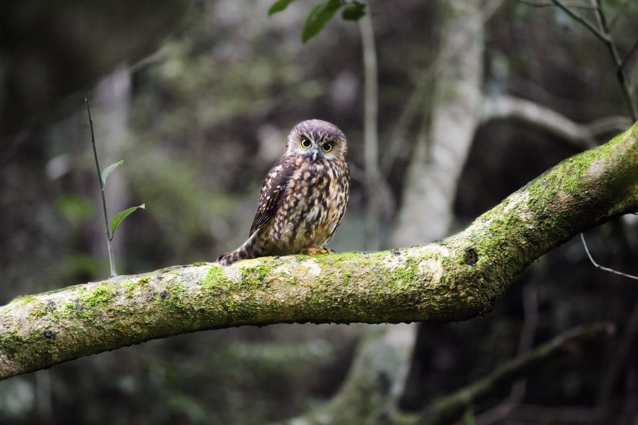 A sleepy morepork delights walkers in the dark forest of Ngaroma Station. Photo: Ray Salisbury