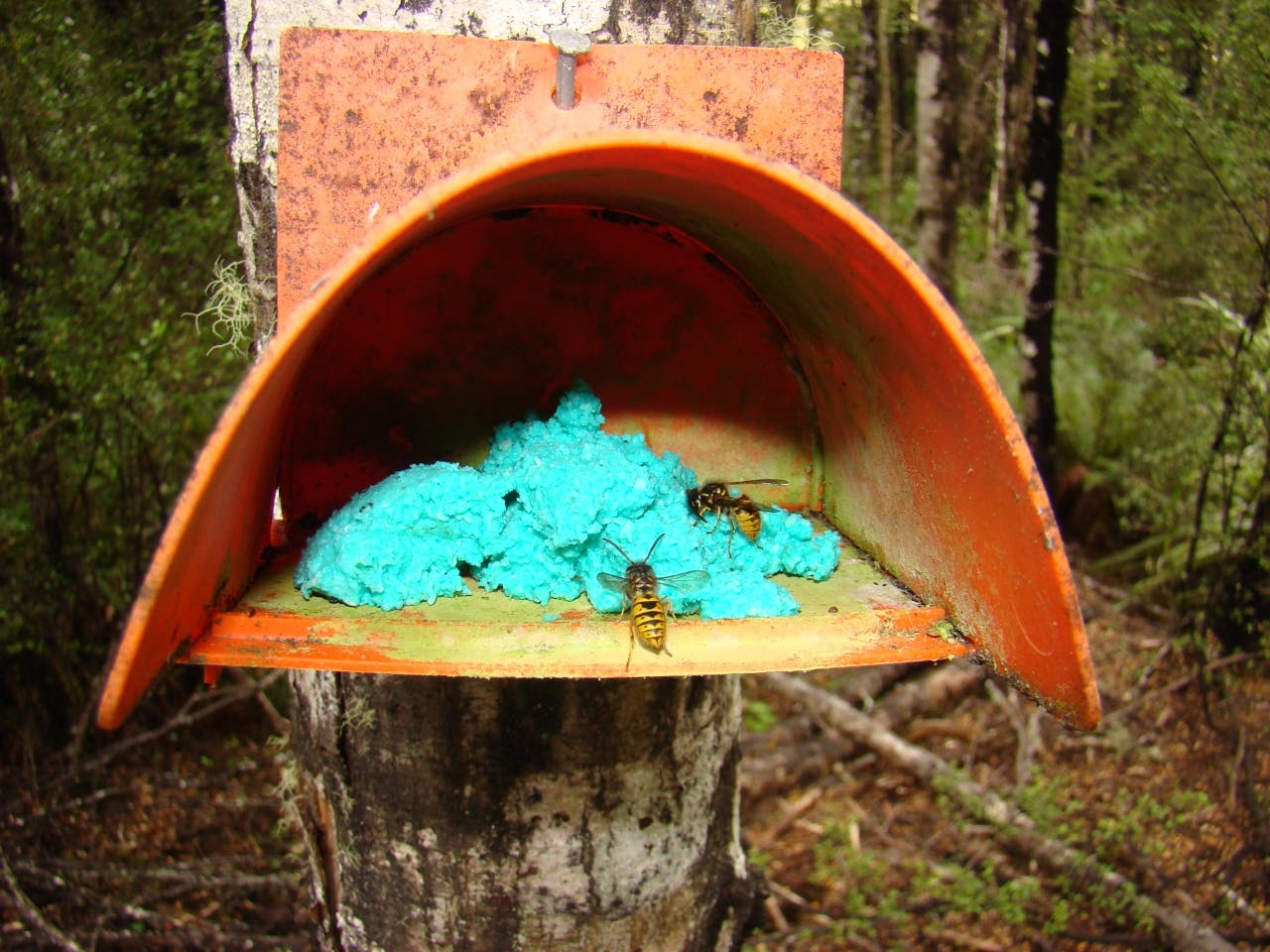 Wasps collect bait to take back to their nests in Nelson Lakes NP