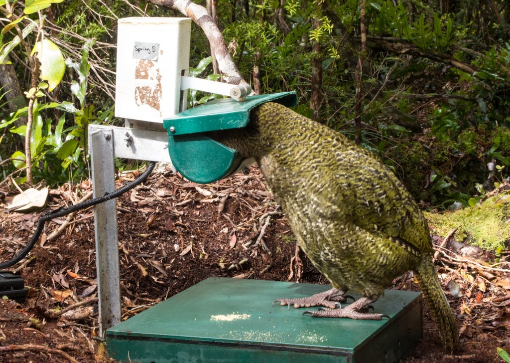Technology like weighing scales at feeding stations is helping scientists monitor kakapo remotely. Photo: Supplied