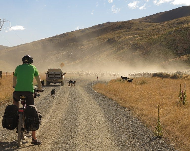 A woolly roadblock stops us in our tracks on the way through the Kakanui Mountains. Photo: Dan Slater