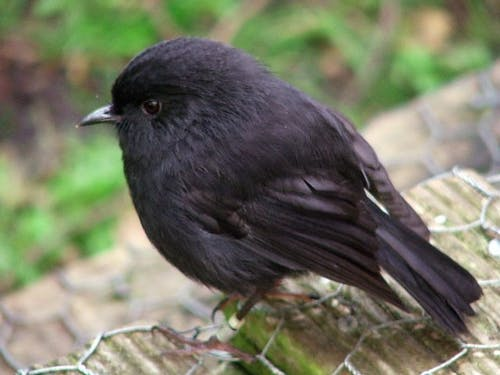 black robin by Frances Schmechel