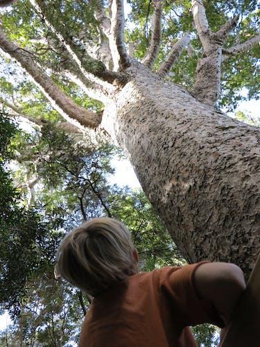 Kauri tree en route to Kaiaraara Hut. Photo: Supplied