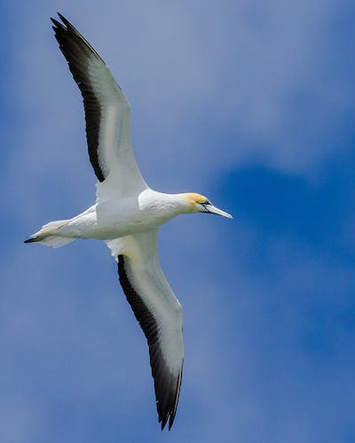The magnificent Australasian gannet. Photo: Matt Winter