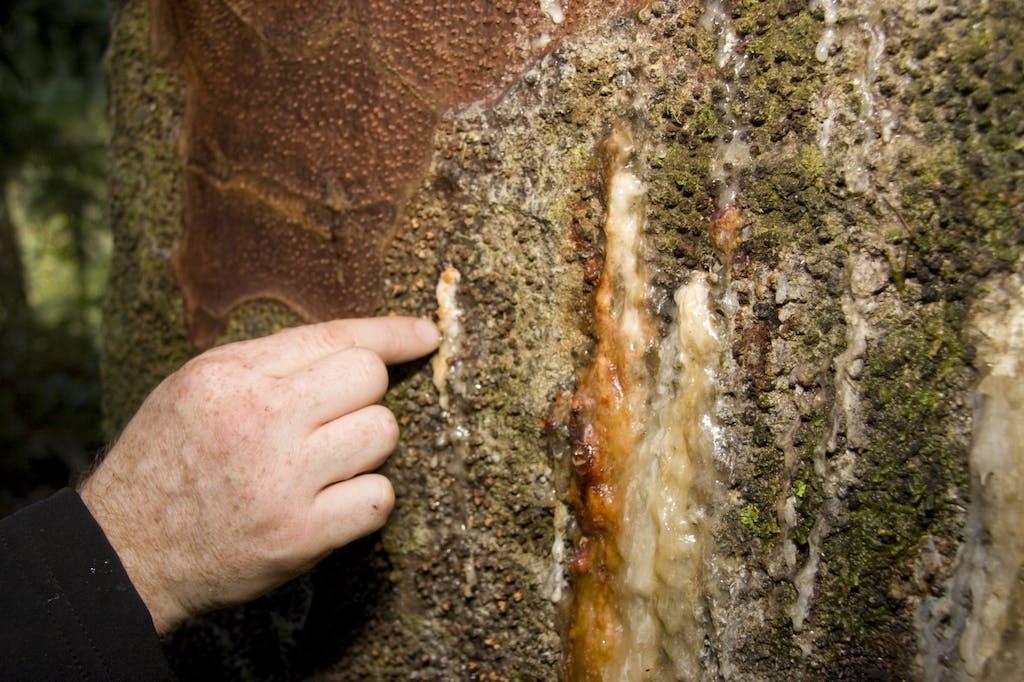 Bleeding lesion on a kauri. Photo: The Kauri Dieback Management Program