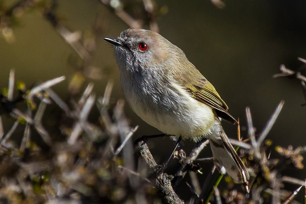 At 6g, the grey warbler is one of the lightest in New Zealand. Photo: Matt Winter