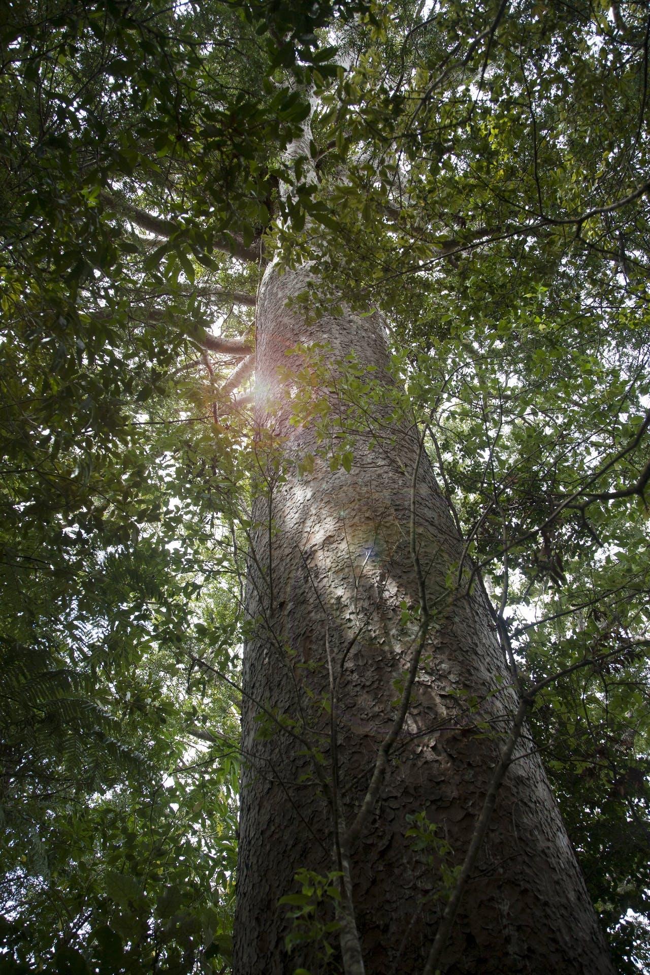 A survivor of the kauri logging days.