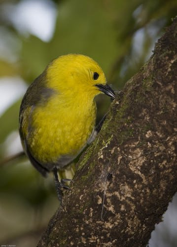 Mohua have made a comeback in Catlins Forest after 1080 was used to kill pests