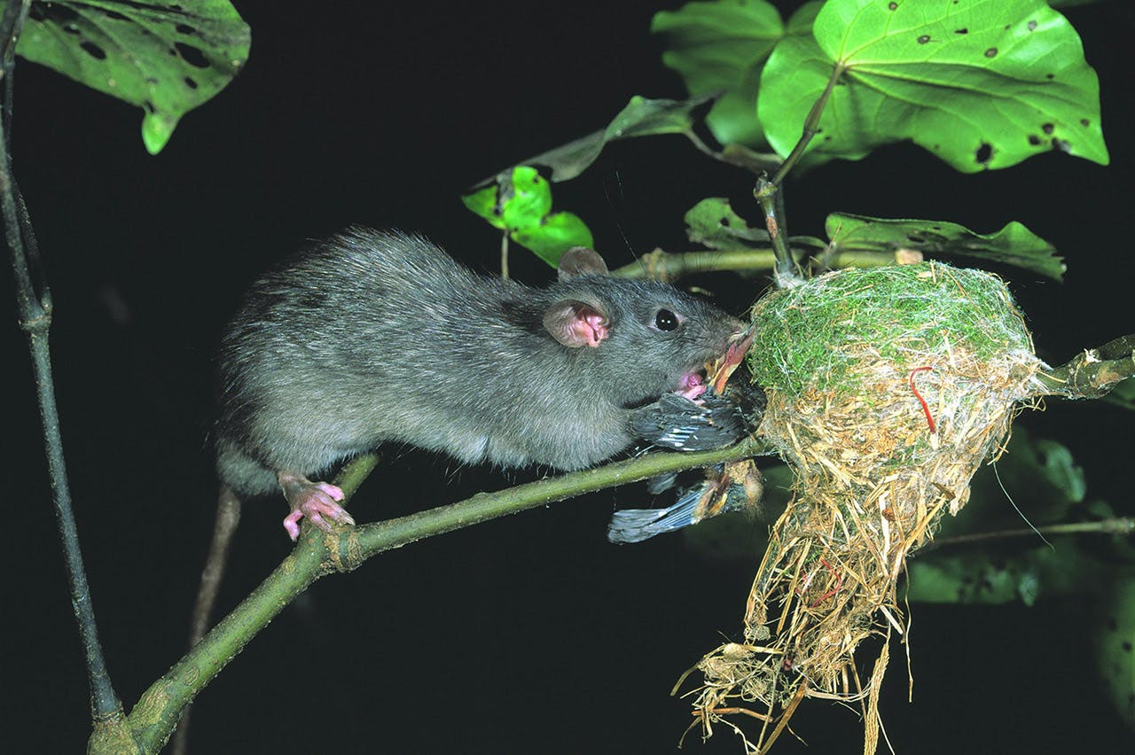 A rat-specific toxin will target one the biggest pest threats to native birds. Photo: DOC
