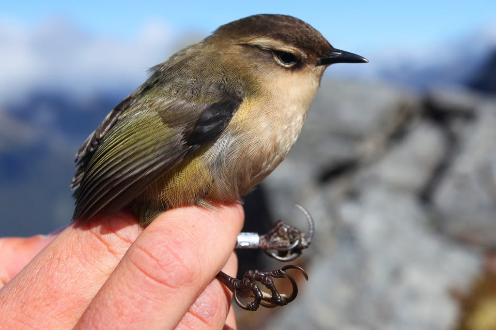 The rock wren is a tiny bird, susceptible to predation by stoats. Photo: Peter Langlands