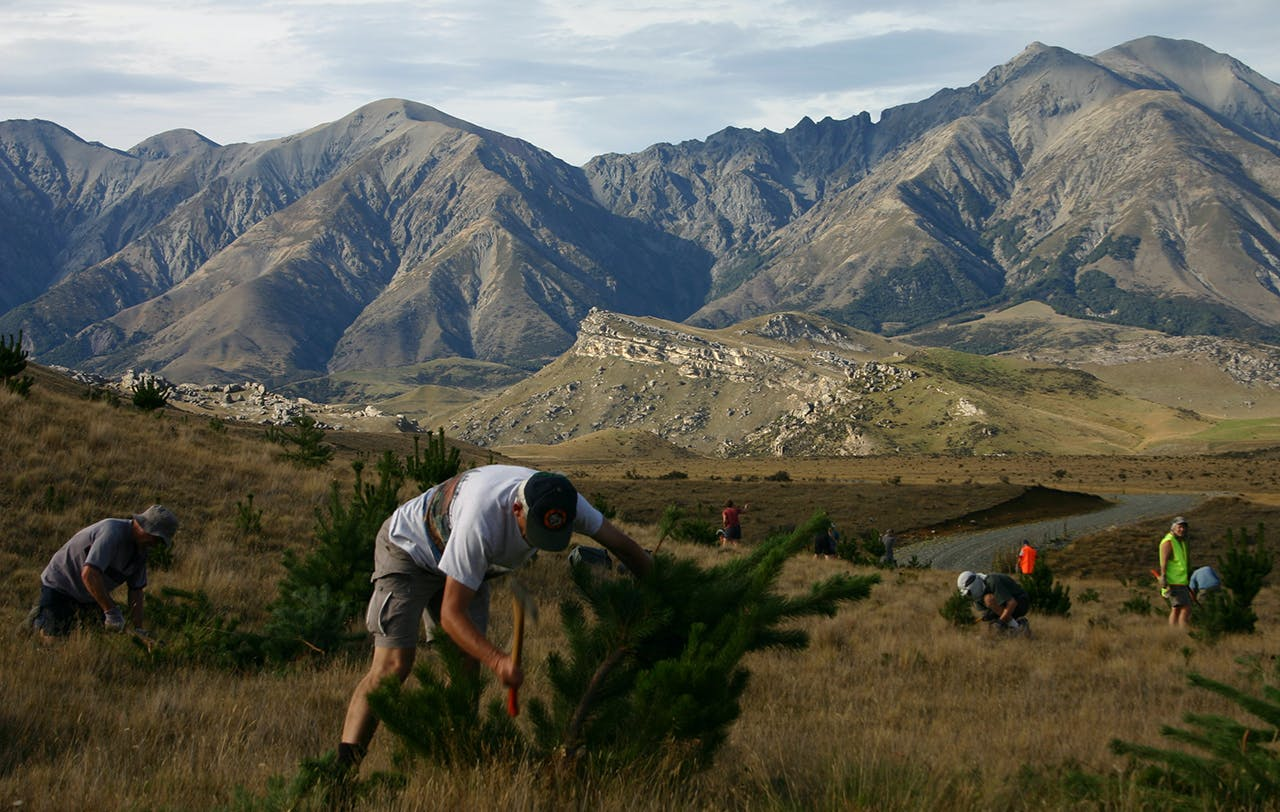 Volunteers help cut wilding pines from the conservation estate – but even the best intentioned volunteer needs experienced DOC personnel supervising them. Photo: James Hoban