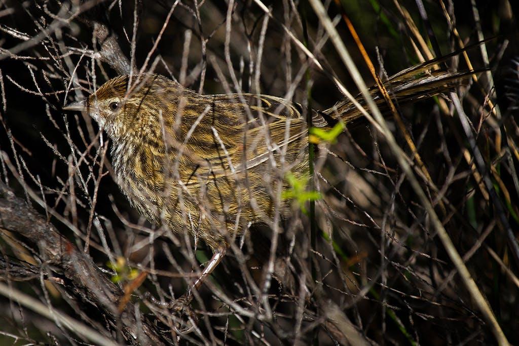 The fern bird is more often heard than seen. Photo: Matt Winter