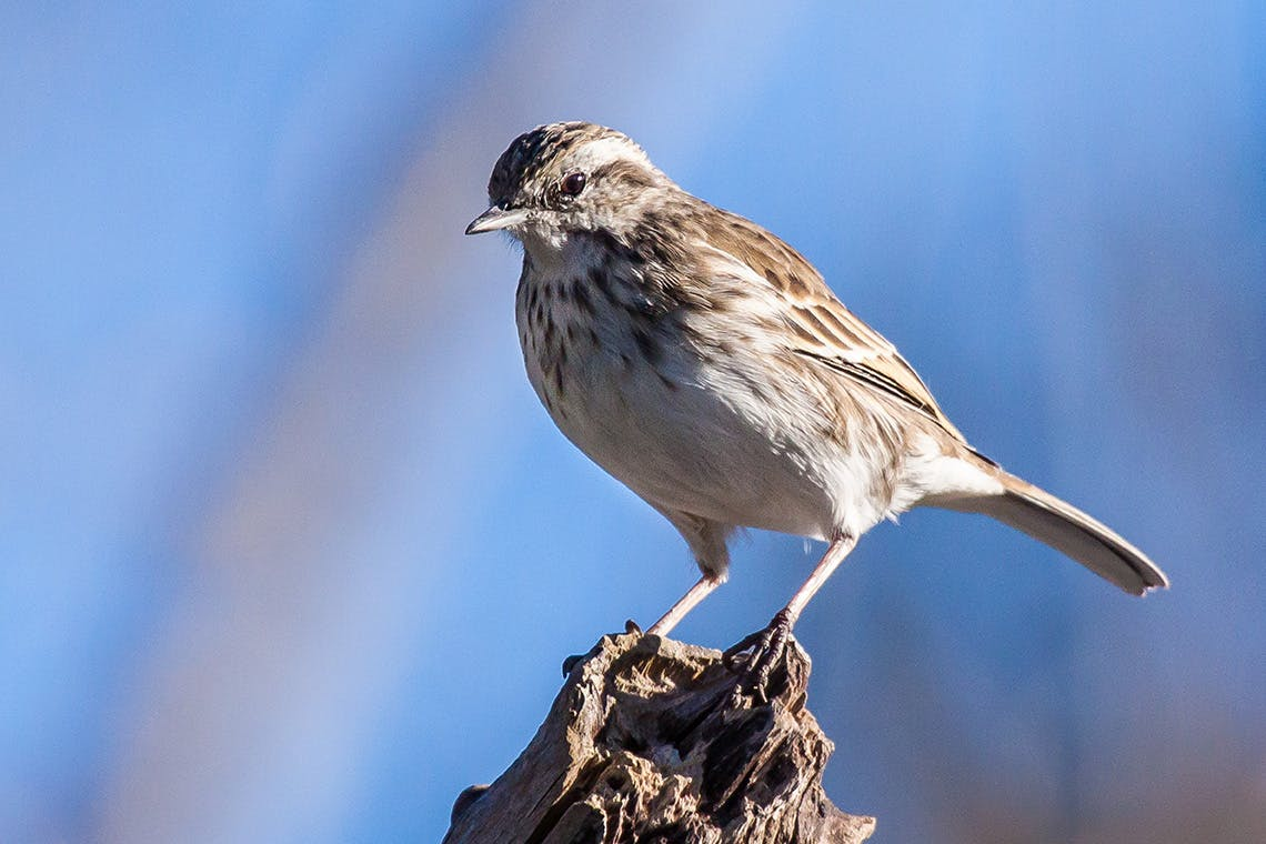 The pipit is widespread throughout New Zealand. Photo: Matt Winter