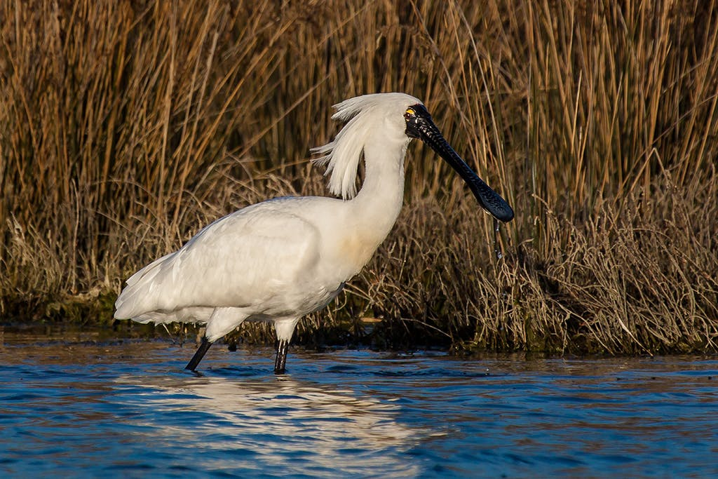 The unusual-looking royal spoonbill. Photo: Matt Winter