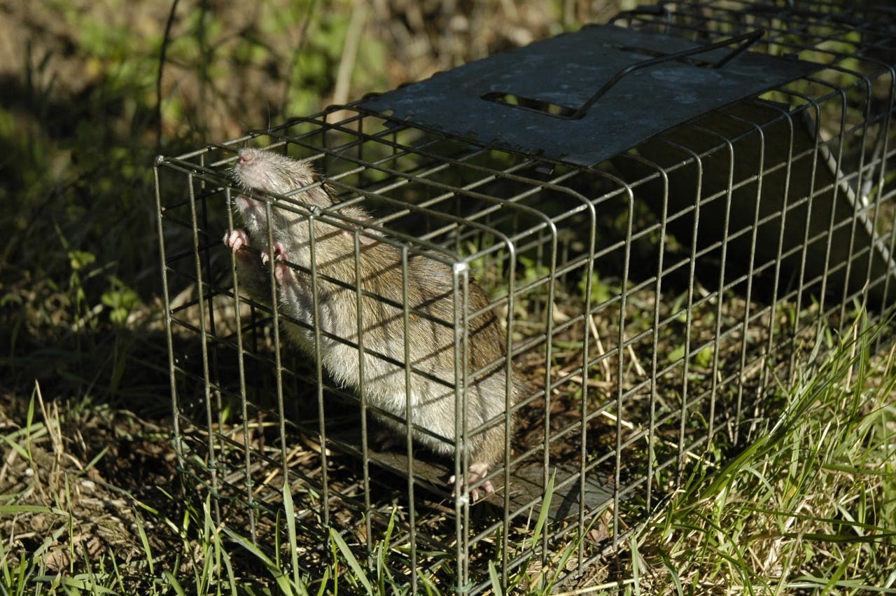 One rat in a trap, several million to go. Photo: Paul Stainthorp via flickr
