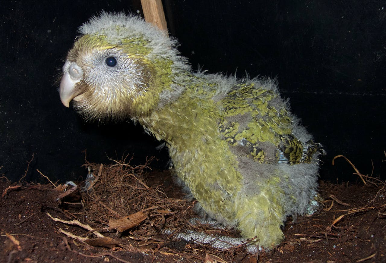 One of 34 kakapo chicks to survive the this season. Photo Andrew Digby/DOC