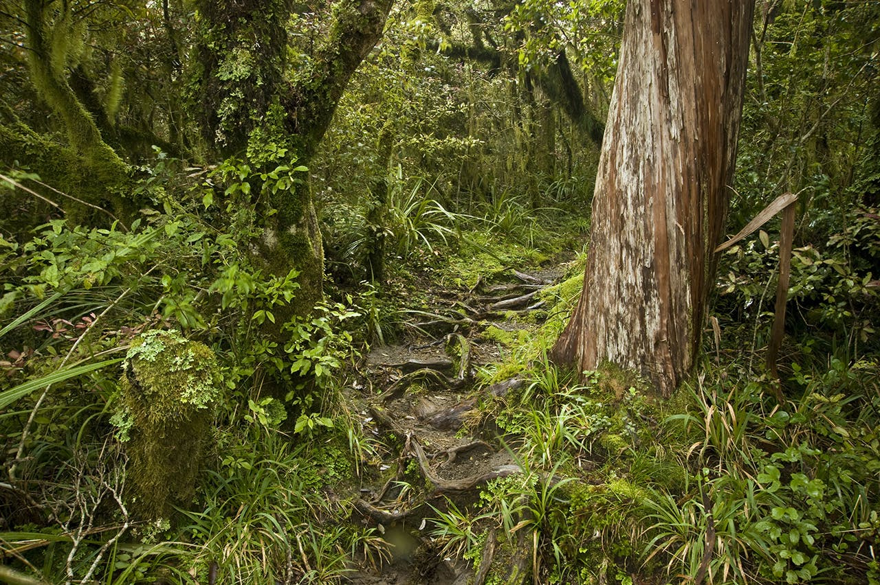 Goblin forest on the Maketawa Track. Photo: Shaun Barnett/Black Robin Photography