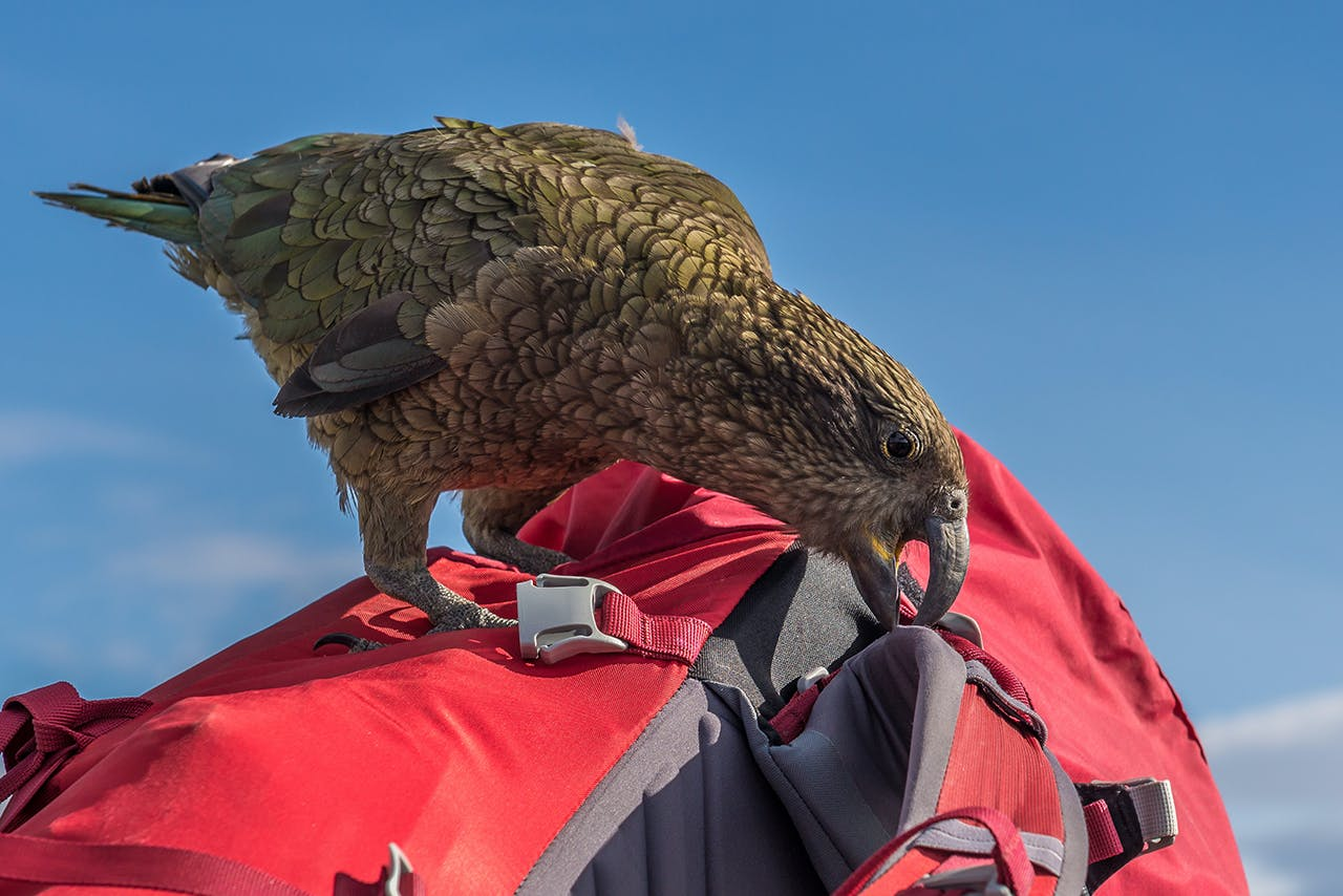 Kea are notorious for picking apart stray backpacks. Photo: Danilo Hegg