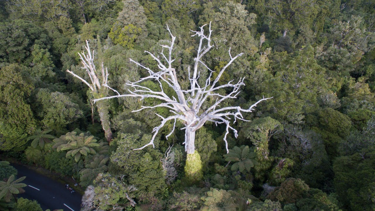 Kauri dieback is much more visible from above than below. Photo: Toby Ricketts