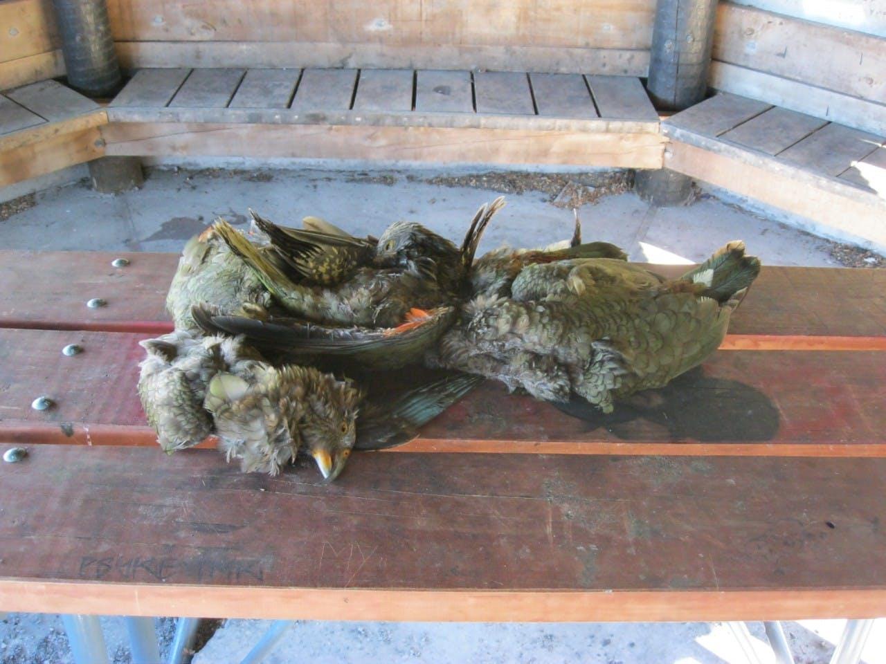 Two kea shot to death in Arthur's Pass National Park. Photo: Kea Conservation Trust