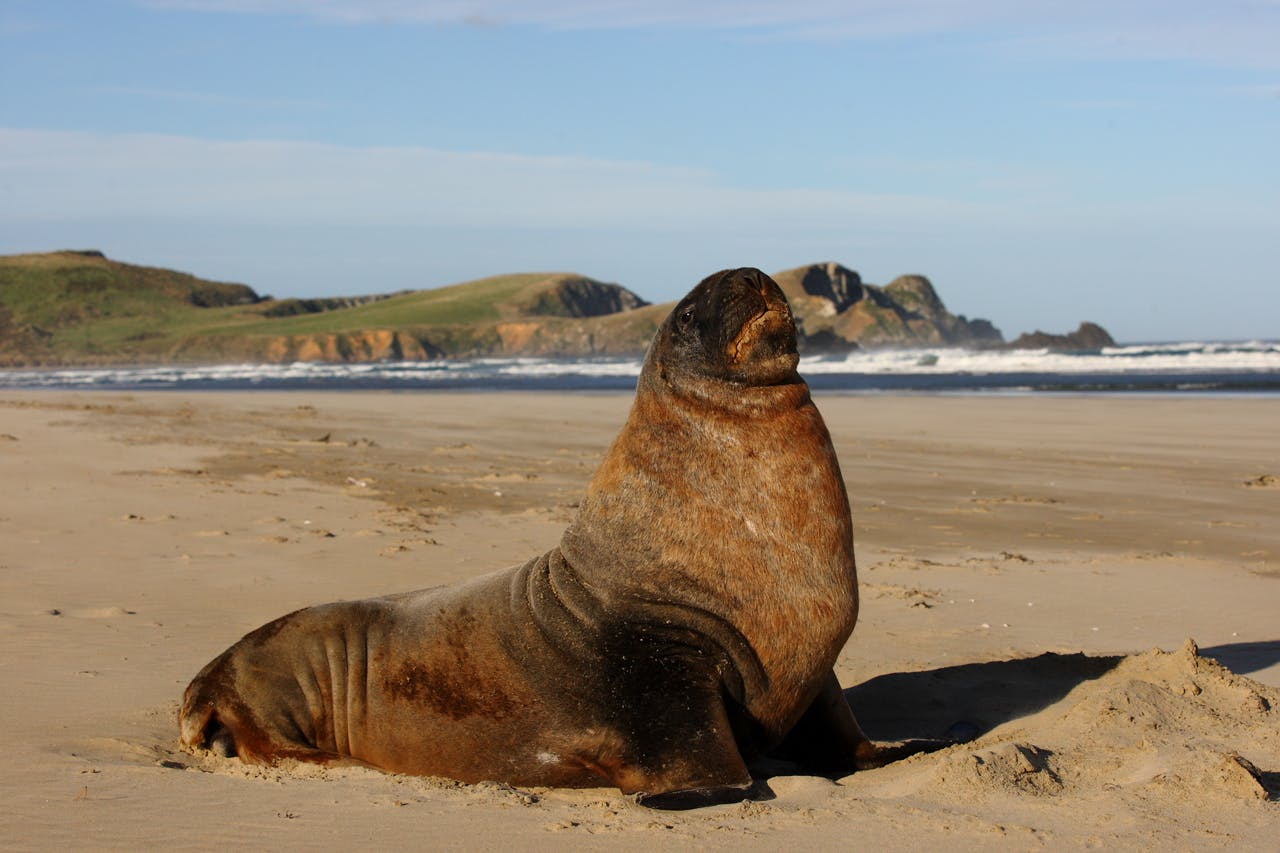 Wildlife like New Zealand fur seals are a major drawcard to the Catlins