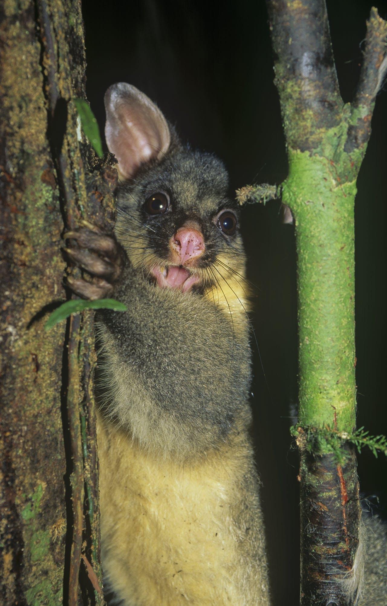Possum, Moetoa Forest, King Country. Photo: Shaun Barnett