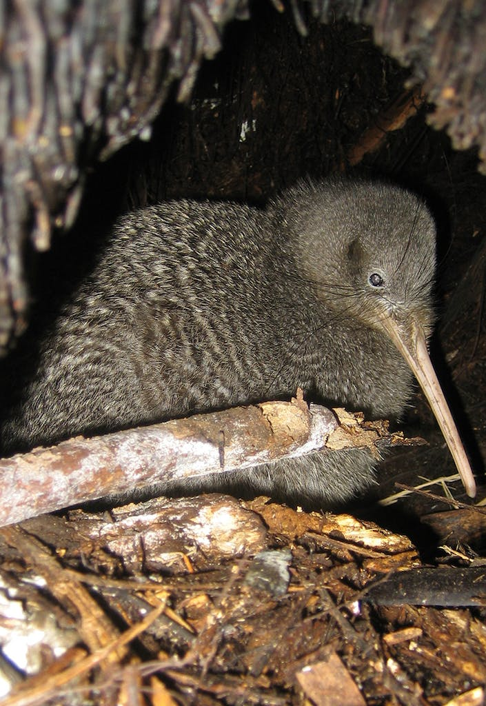 There are currently an estimated 68,000 kiwi in New Zealand. Pictured is a little spotted kiwi. Photo: Andrew Digby/DOC
