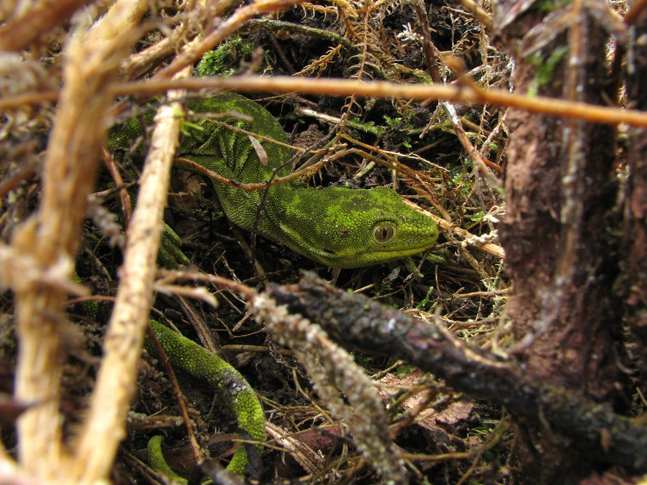 The Mt Mantell area is the meeting place of two green gecko species, the West Coast green gecko and the Nelson green gecko. Photo: Steuart Laing