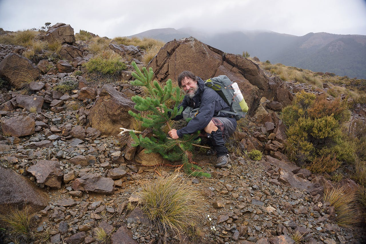 Anthony Behrens of the Palmy Pine Pulling Posse is determined to do his bit to remove the invasive trees from the backcountry. Photo: Anthony Behrens