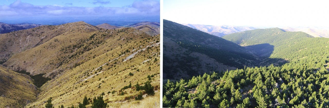 It's easy to see why some describe the wilding pine problem as a tidal wave in these two photos from Mid Dome taken in 1998 (left) and 2015