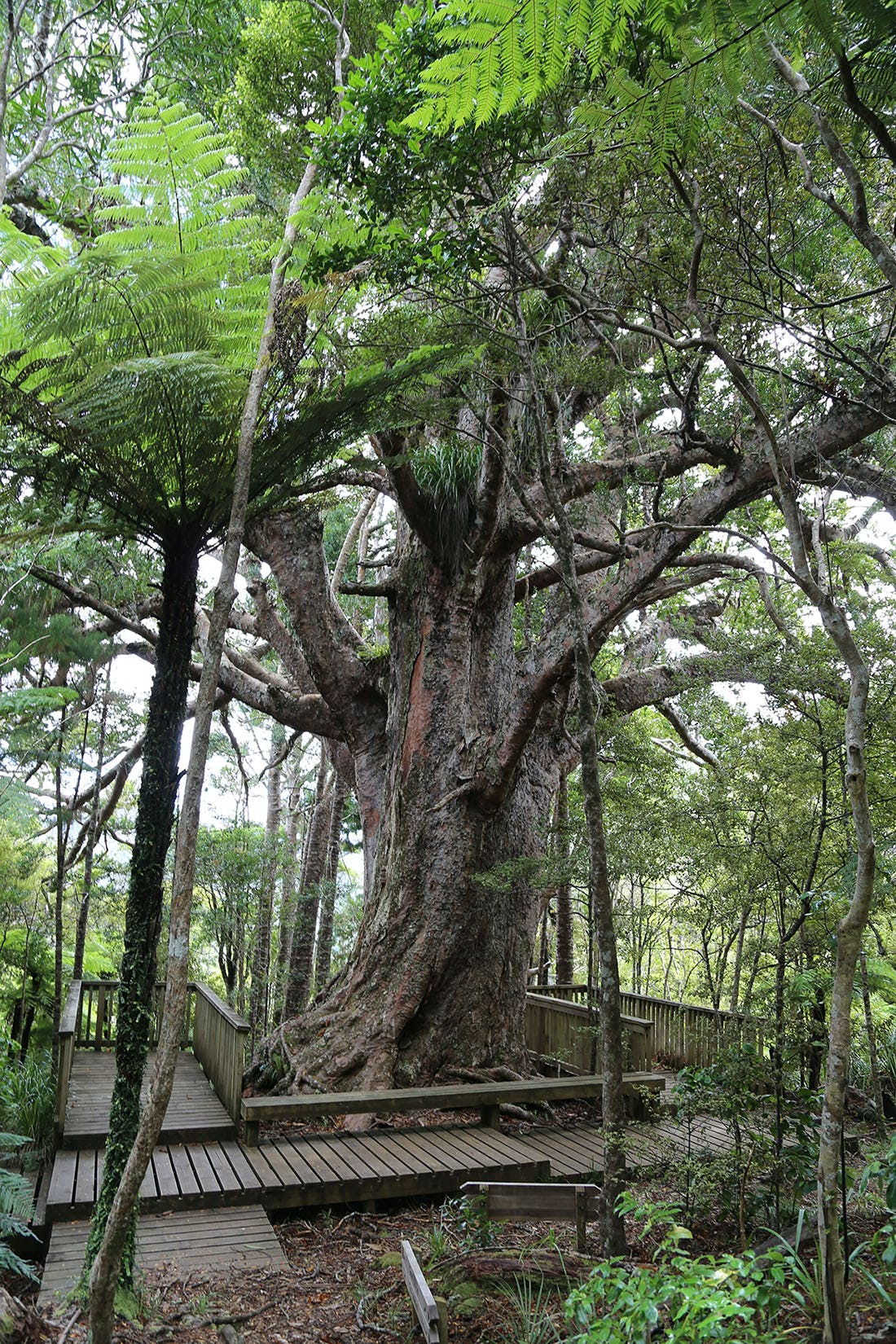 The unusual shape of Tom Thumb kauri saved it from the logger's saw. Photo: Matthew Pike