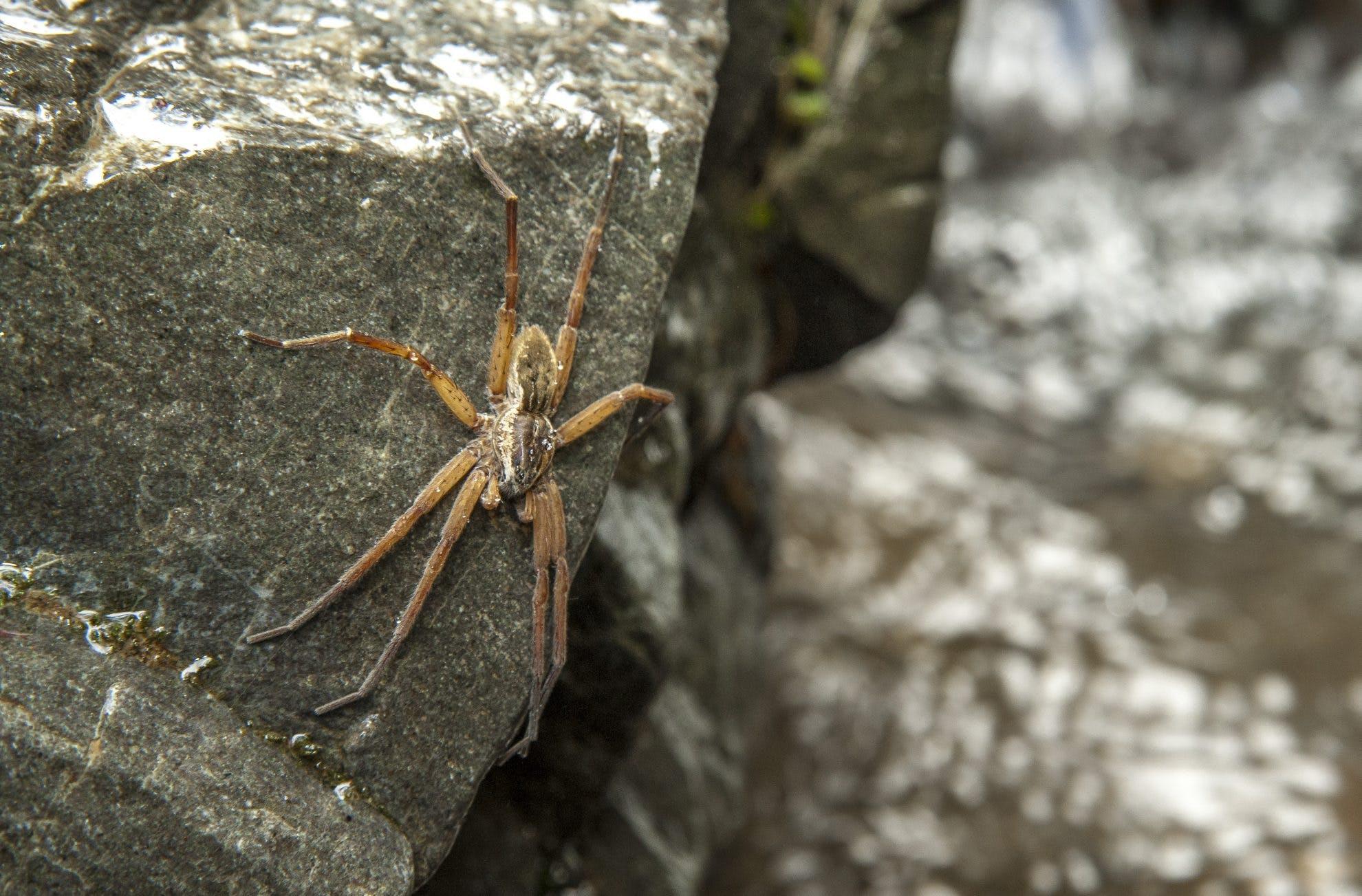 Water Spiders Wilderness Magazine